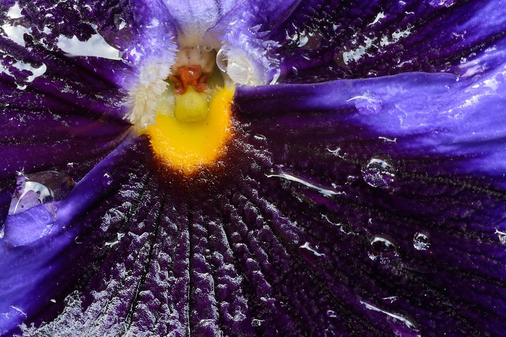 Close up of the yellow centre of a purple pansy