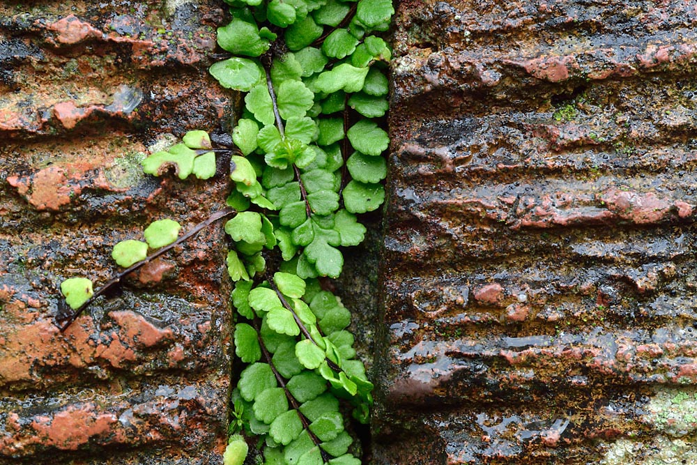 Small bright green leaves with round serrated edges photographed in the narrow space between two pieces of masonry
