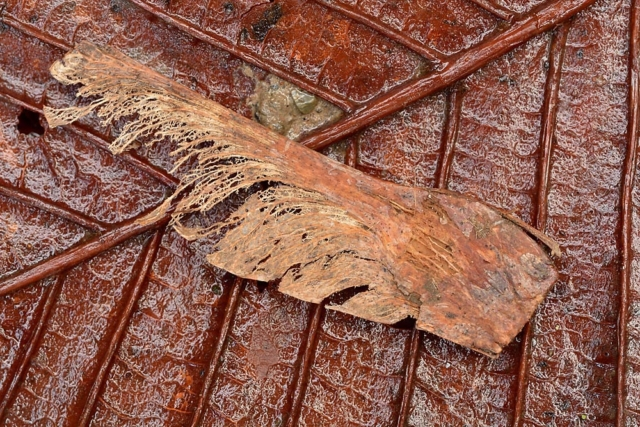 Close up of a dark brown leaf with a small fragment of the tree placed on top