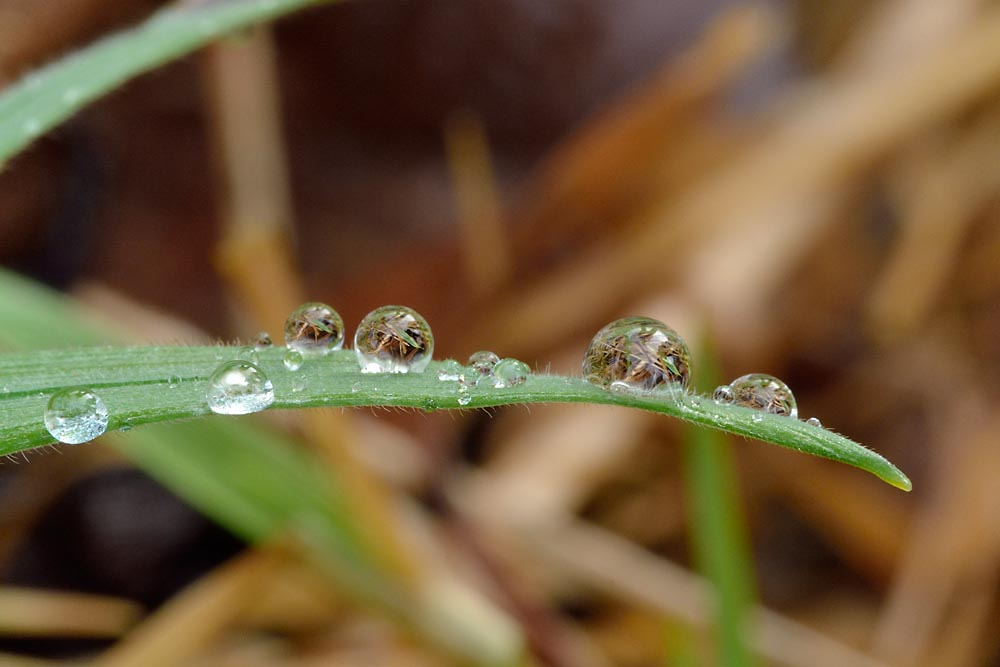 Several clear beads of water photographed on the tip of a curved green leaf