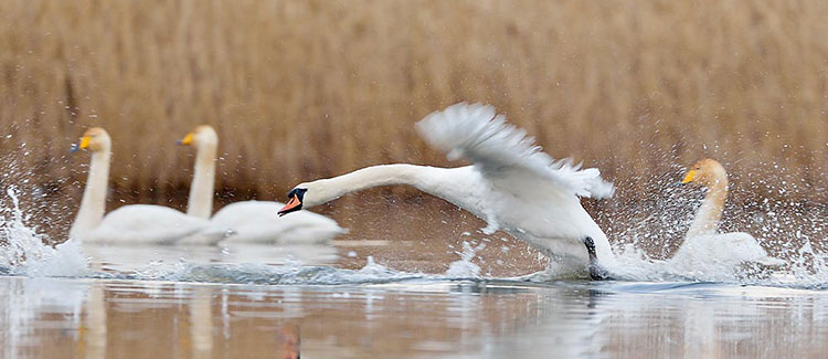 Mute swan landing with a splash amongst whooper swans
