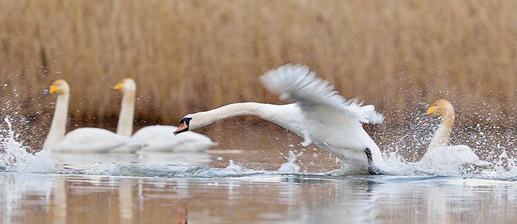 Mute swan landing with a splash amongst whooper swans