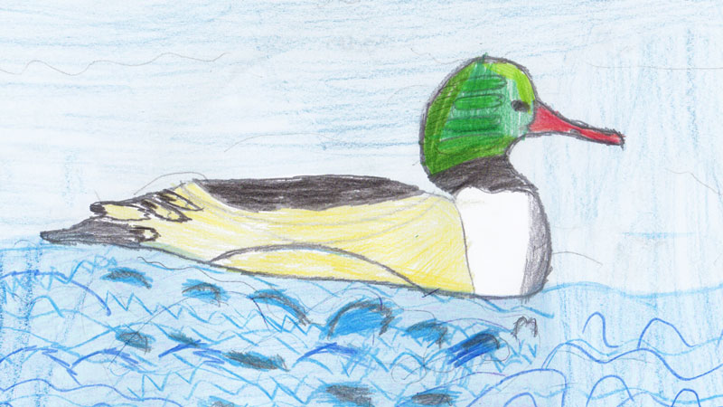 Colour drawing of a goosander by Lexi from team Blue Tits