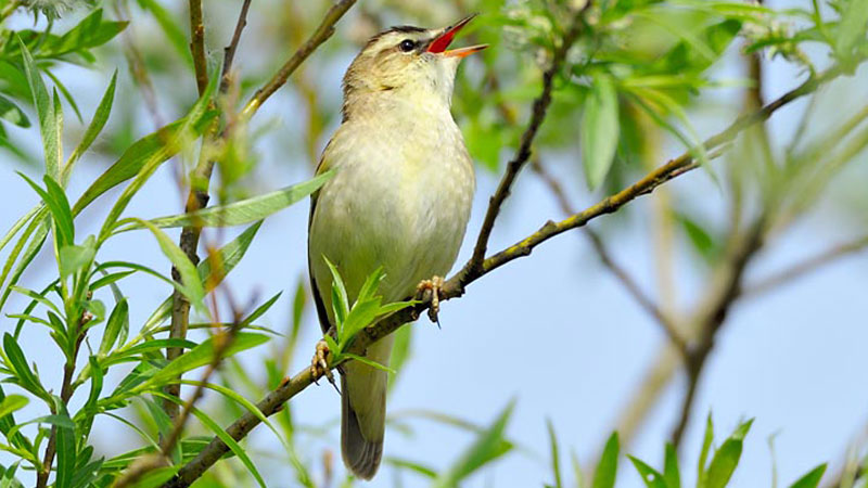 Colour photograph of a yellow sedge warbler singing while perched on a branch