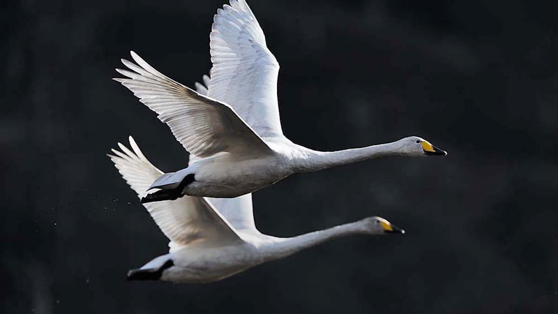 Colour photograph of a two white whooper swans in flight