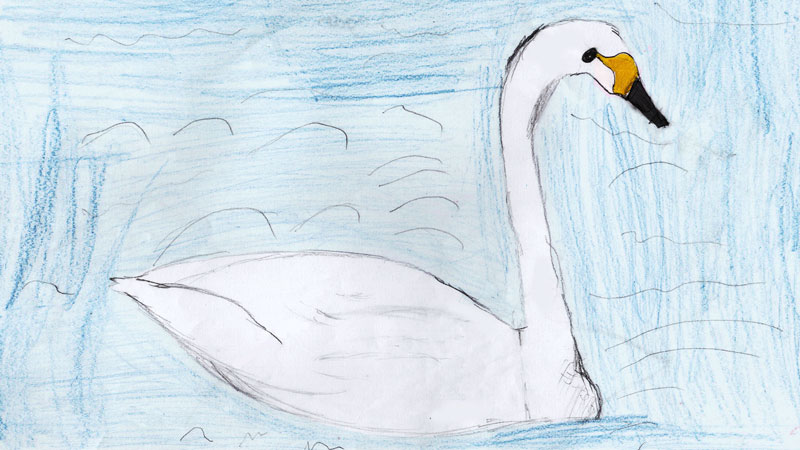 Colour drawing of a white whooper swan with a yellow and black bill, swimming in a pond